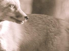 Fox Bullets_category_fox 2