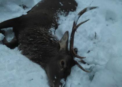 Fox bullets red deer buck